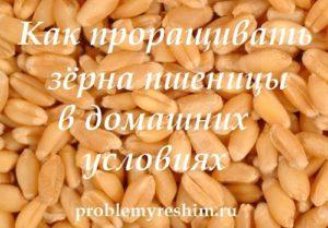 Как проращивать зёрна пшеницы в домашних условиях — надпись на фото зерен